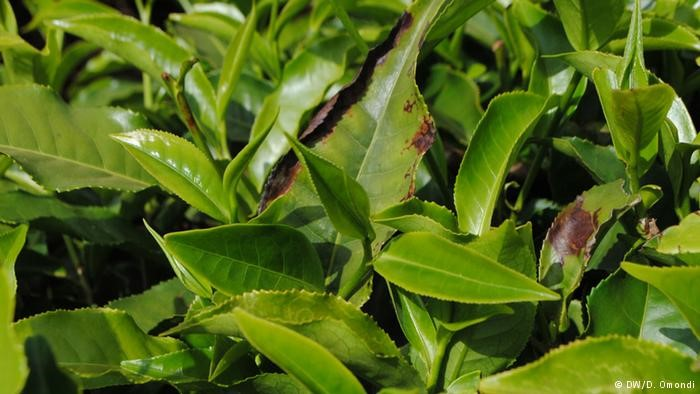 Frost damages the tea leaves, making them unsuitable for harvest.
