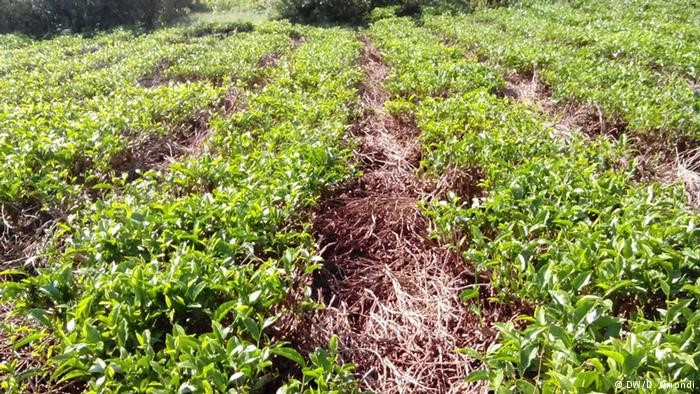 Mulch improves soil conditions for tea plants.