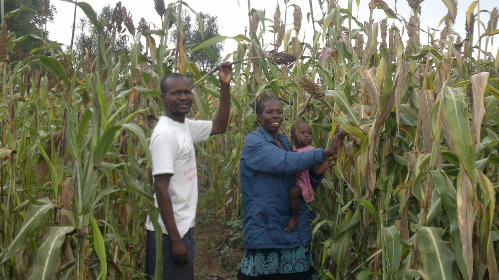 "Nzara Yapera (""hunger is gone""), a successful sustainable maize variety. © Locadia Mavhudzi"