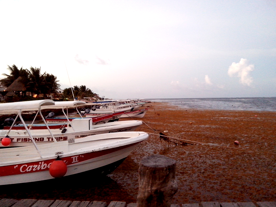 Tons of foul sargassum algae stormed the Caribbean coast, damaging activities on many levels. © Guillermo Fuentes