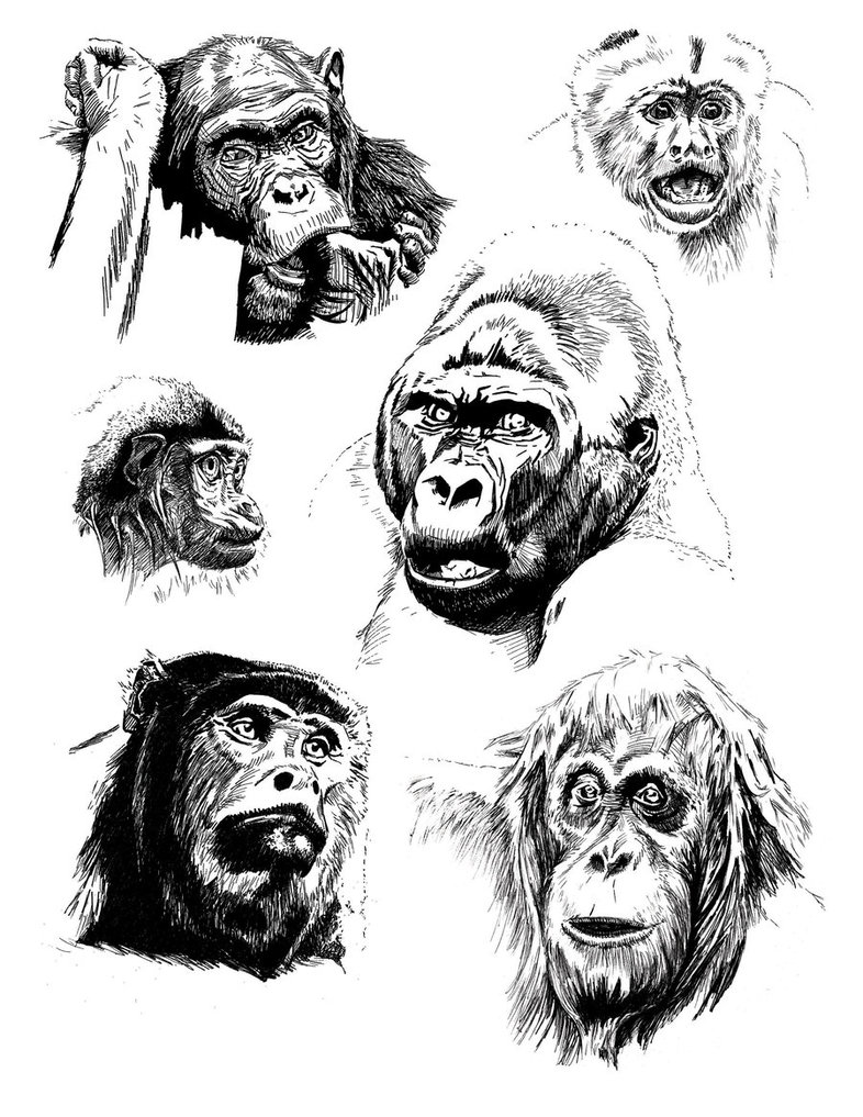 monkeys_and_apes_pen_drawings_by_danielmanson-d5bl2fx.jpg