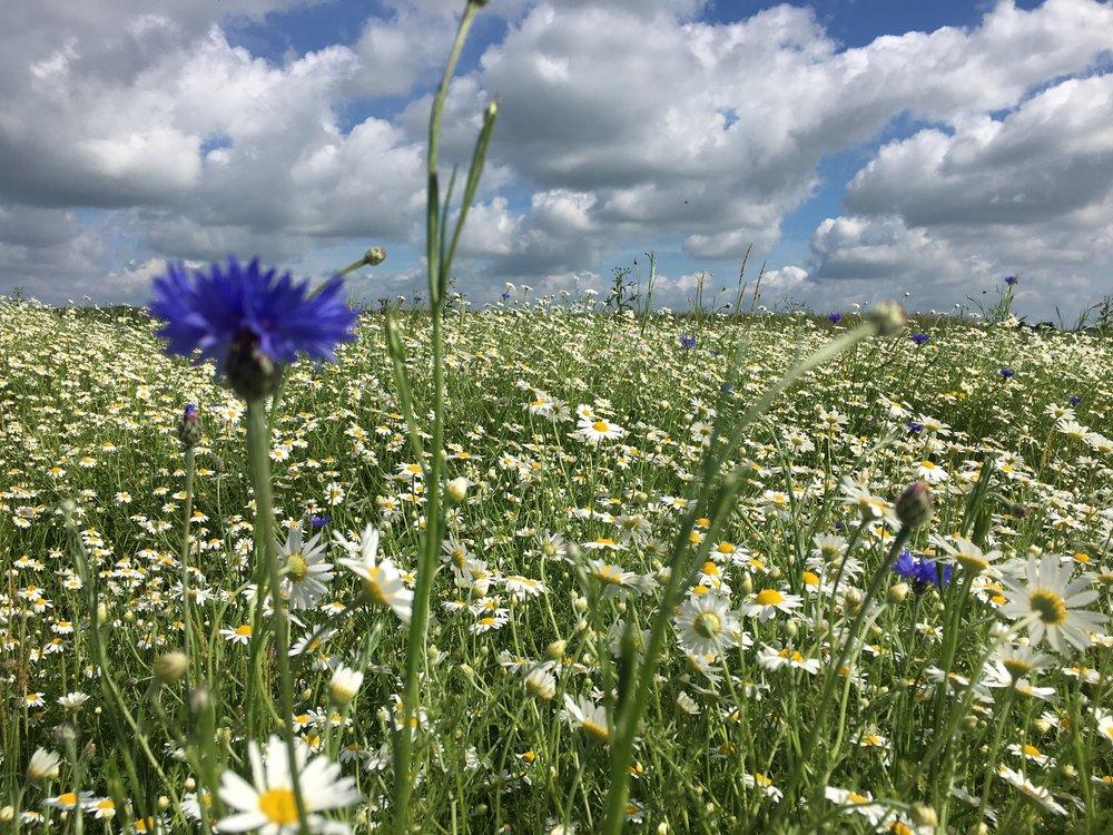 cornflower_daisies_summerclouds