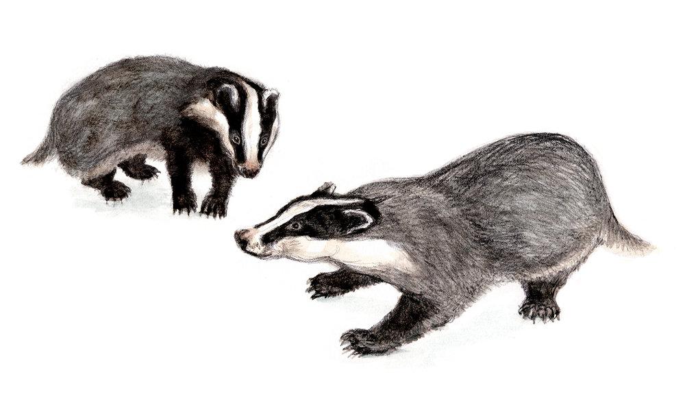 badger-vignette-jackie-taylor.jpg