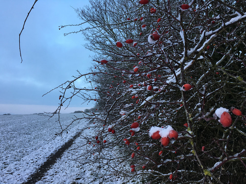 Frozen hedgerow