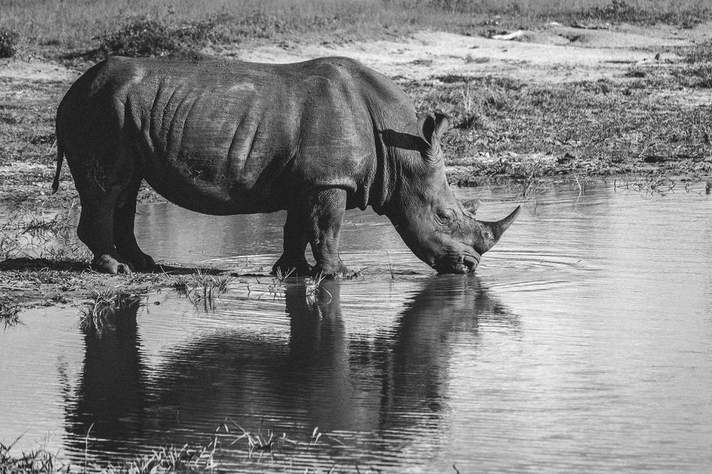 Rhino, South Africa