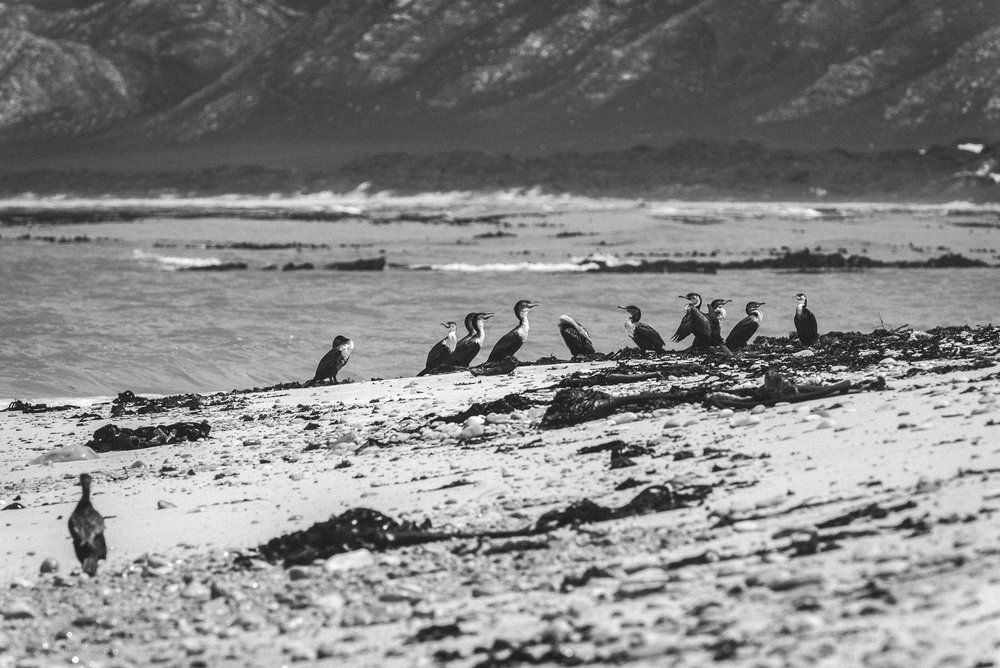 Cormorants, South Africa