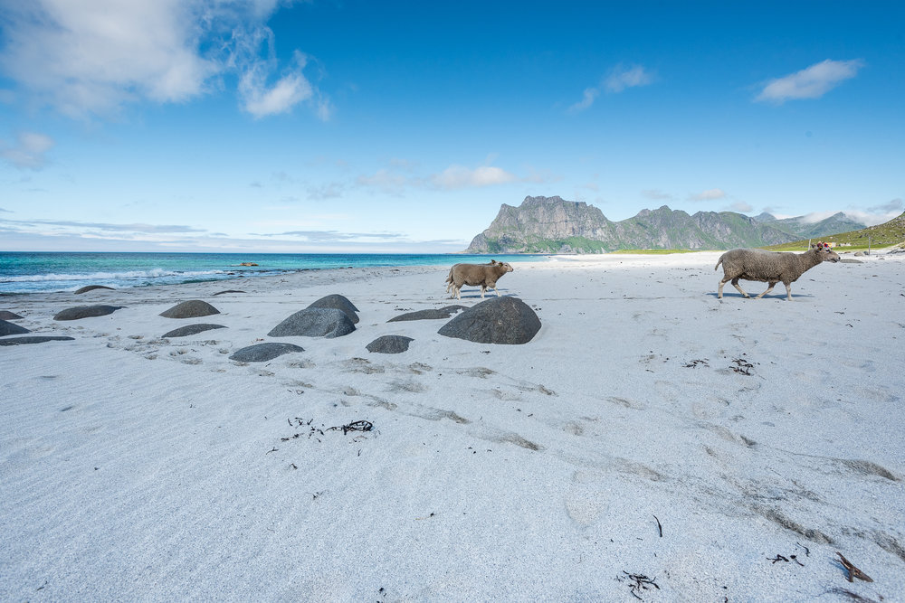 Sheeps on the Beach, Lofoten