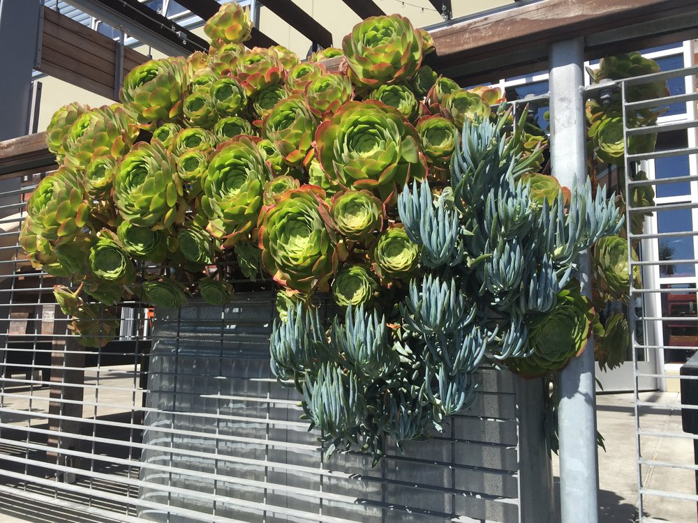 Gorgeous live succulents outside of a coffee shop, taken on a mid-day coffee break walk