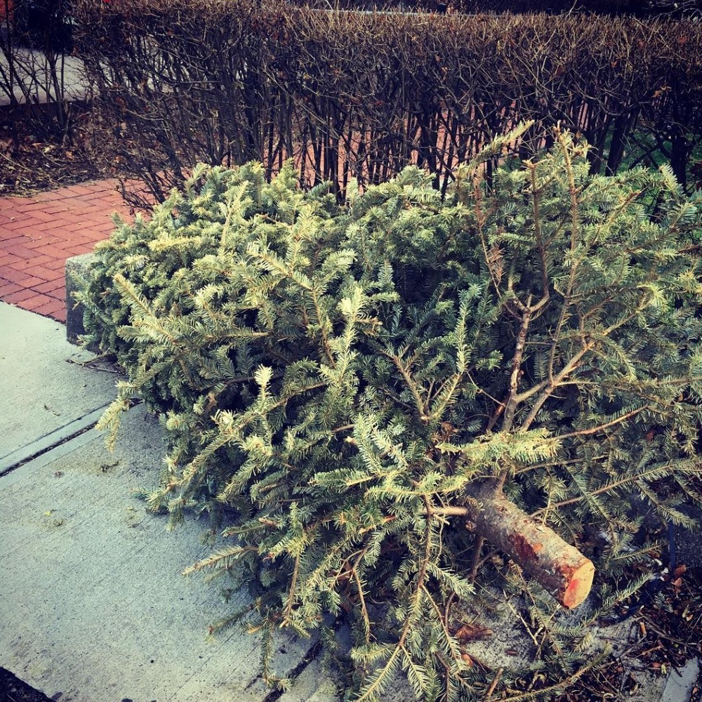 Christmas tree on the side of the curb, spring 2016