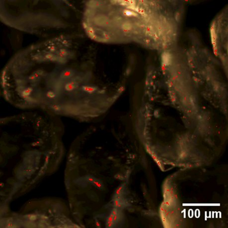 Reactive zerovalent iron nanoparticles on sand grains detected by hyperspectral imaging