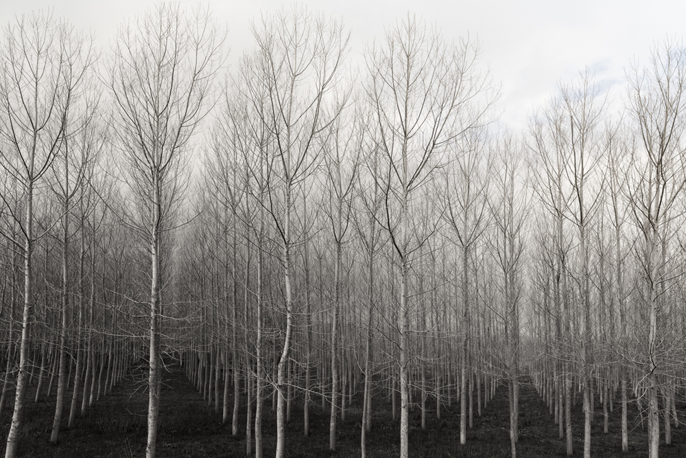 """Trees in Rows  2015 archival giclee print on watercolor paper 10"""" x 15"""""""