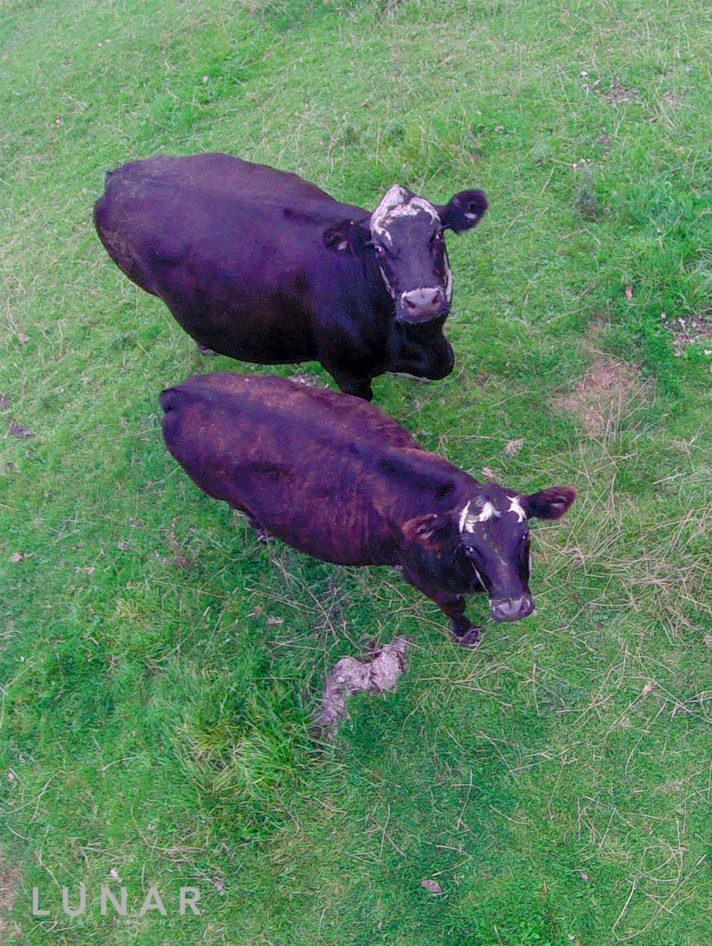 Cows meet drone, Cheshire, LUNAR Aerial Imaging