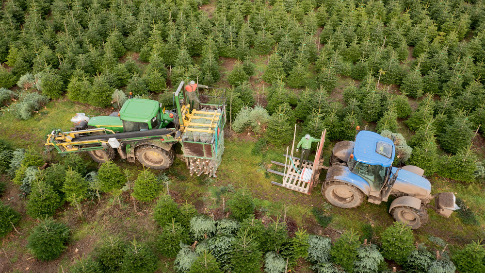 Christmas tree harvest aerial image