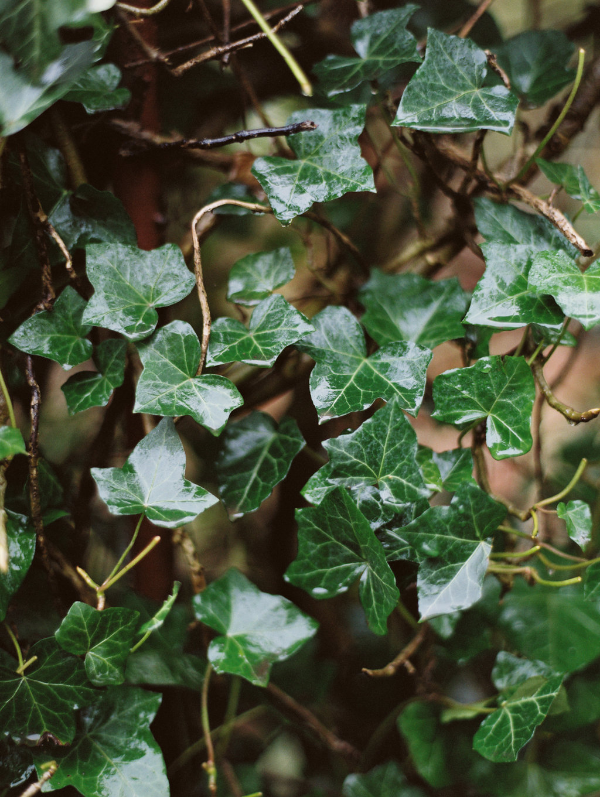 green ivy by Jess Rose Photo