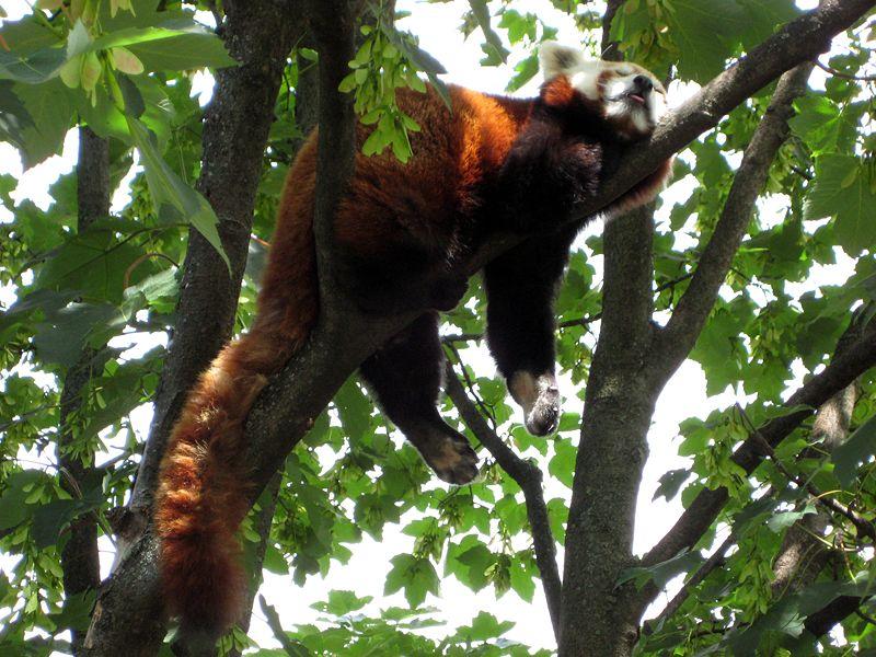 https://en.wikipedia.org/wiki/Red_panda#/media/File:Tiergarten_Schoenbrunn_Kleiner_Panda_2.jpg