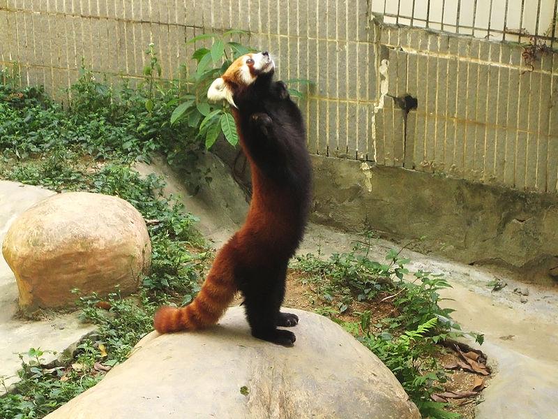 https://en.wikipedia.org/wiki/Red_panda#/media/File:Lesser_panda_standing.jpg