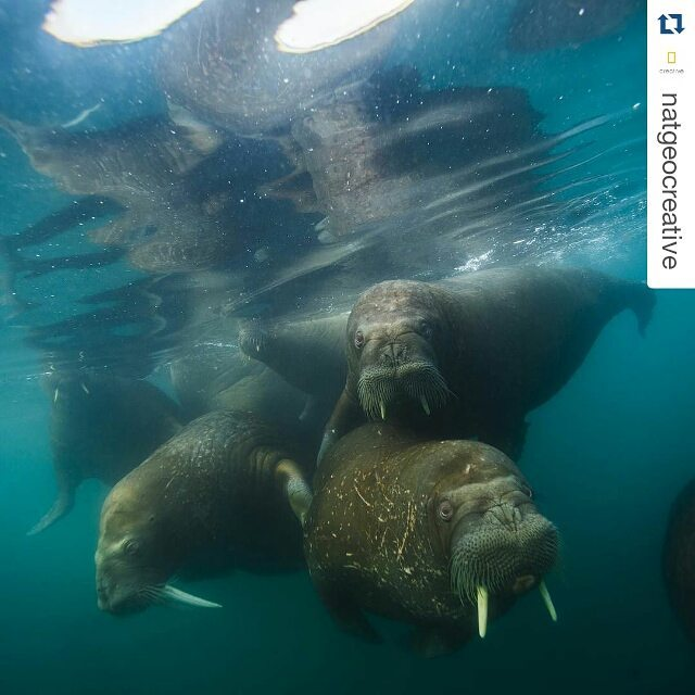 Photo by @coryrichards & @natgeocreative. // #Walruses swim #underwater off Hooker Island. #Russia #WATO #WeAreTheOceans #UNoceans