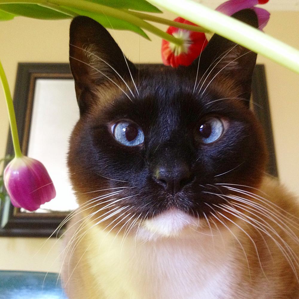 Tulip Calven