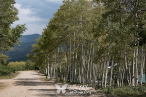In another couple of weeks, these aspens will be golden and spectacular!