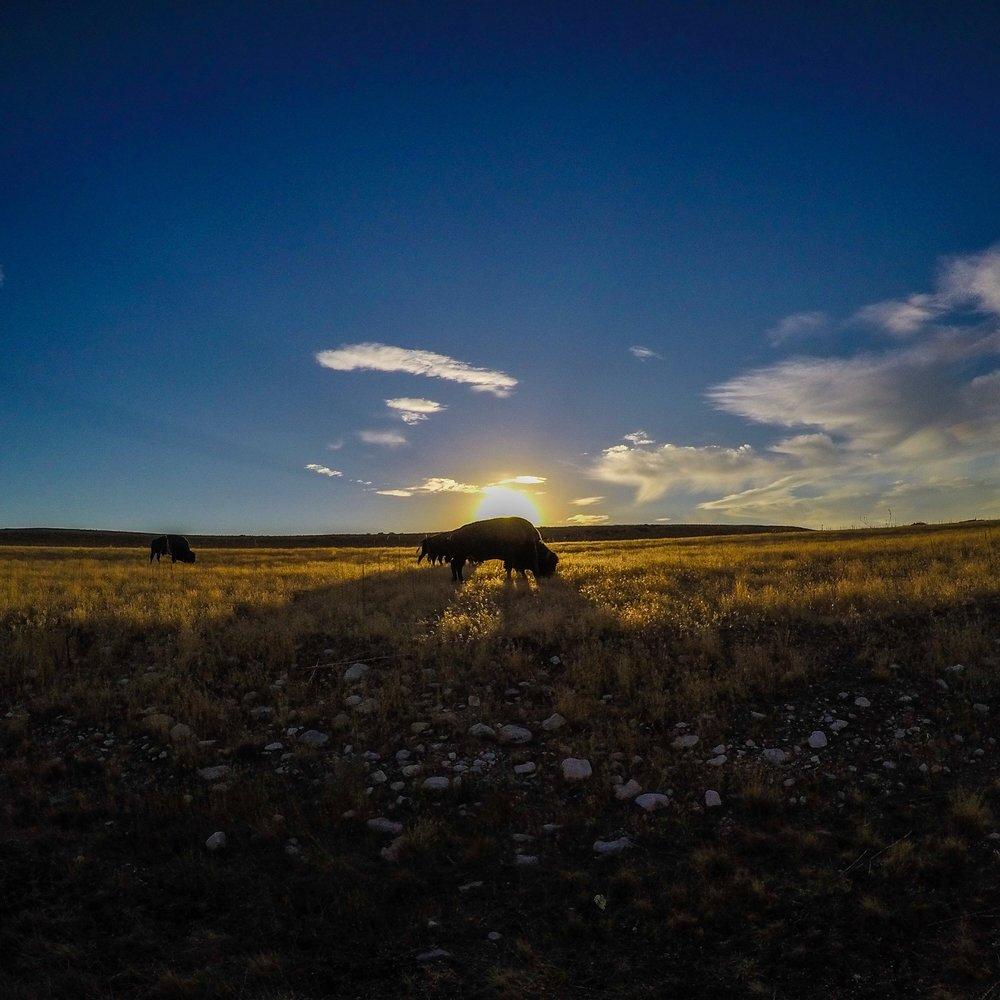 Free range bison grazing