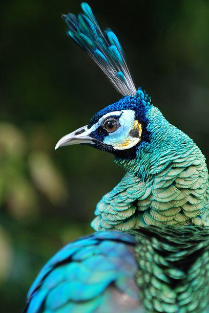 peacock00.jpg