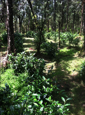 Tea plants among ohia trees
