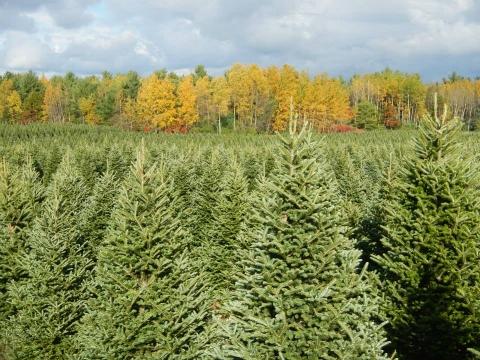 Nickelson's Christmas Tree Farm.jpg