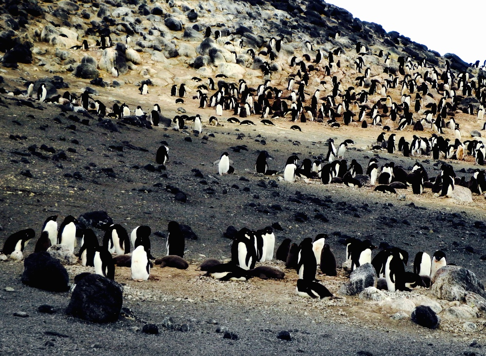 Adelie penguins at Cape Royds rookery.