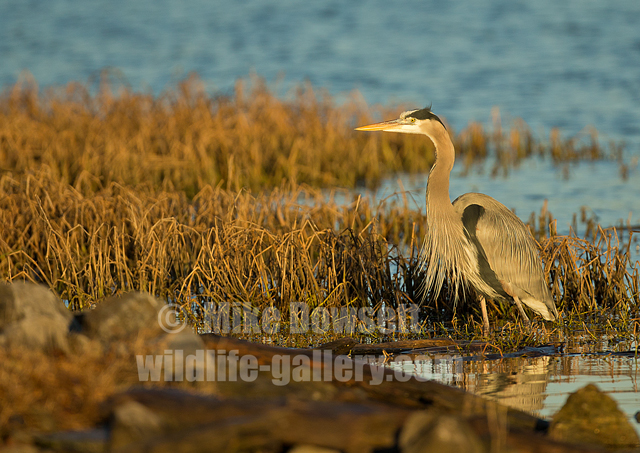 Great Gray Heron