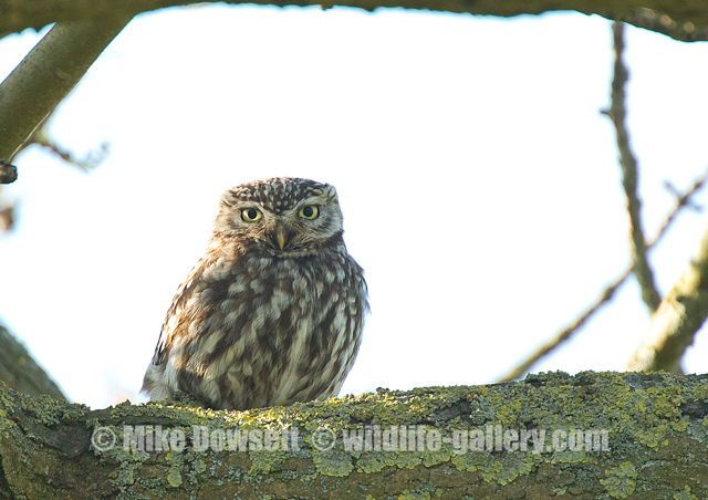 A Little Owl (wild) - 1000mm, f8, ISO 1600 1/500sec - Canon 1D-X, Canon EF500 f4, Canon 2x II + some luck