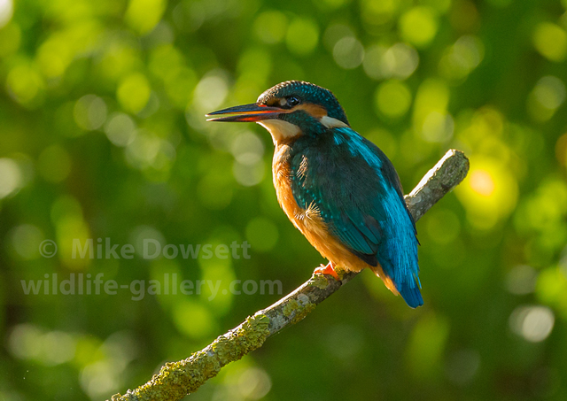 Kingfisher Portrait