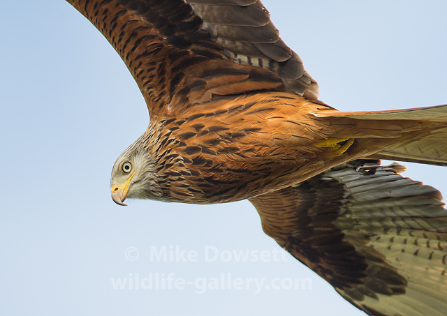 This Red Kite was very low and I cropped both wing tips using the 500mm lens, but great to see a sharp close-up of the face.  Look at that eye !  500mm  f4  ISO400  1/1250sec