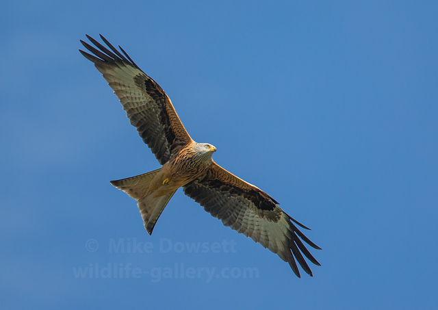 Classic Red Kite in flight, unusually against a blue sky.  500mm  f4  ISO400  1/1600sec