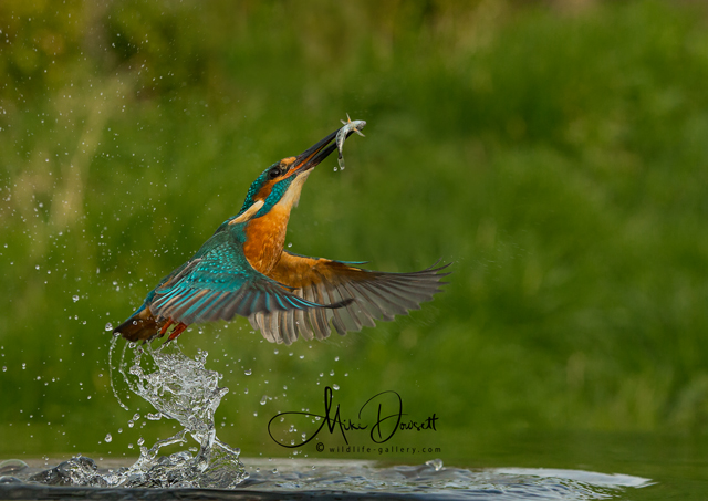 © A male Kingfisher exploding from the water with a fish - My best Kingfisher image so far... ©