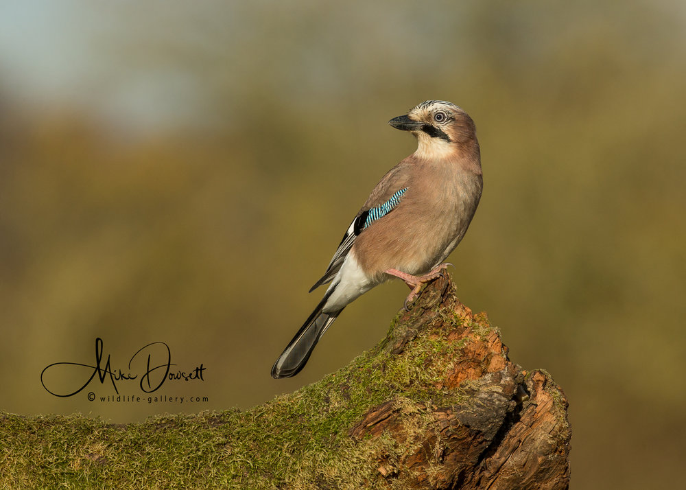 Frequent visitors to the  Oxford Wildlife Photography Hide  are a pair of beautiful Eurasian Jays, these are some of the first to arrive each day...