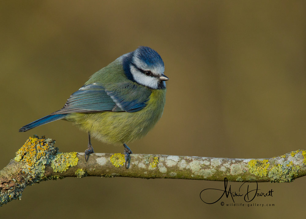 There are dozens of Blue Tits and Great Tits at the  Oxford Wildlife Photography Hide , along with slightly less frequent Long Tailed Tits...
