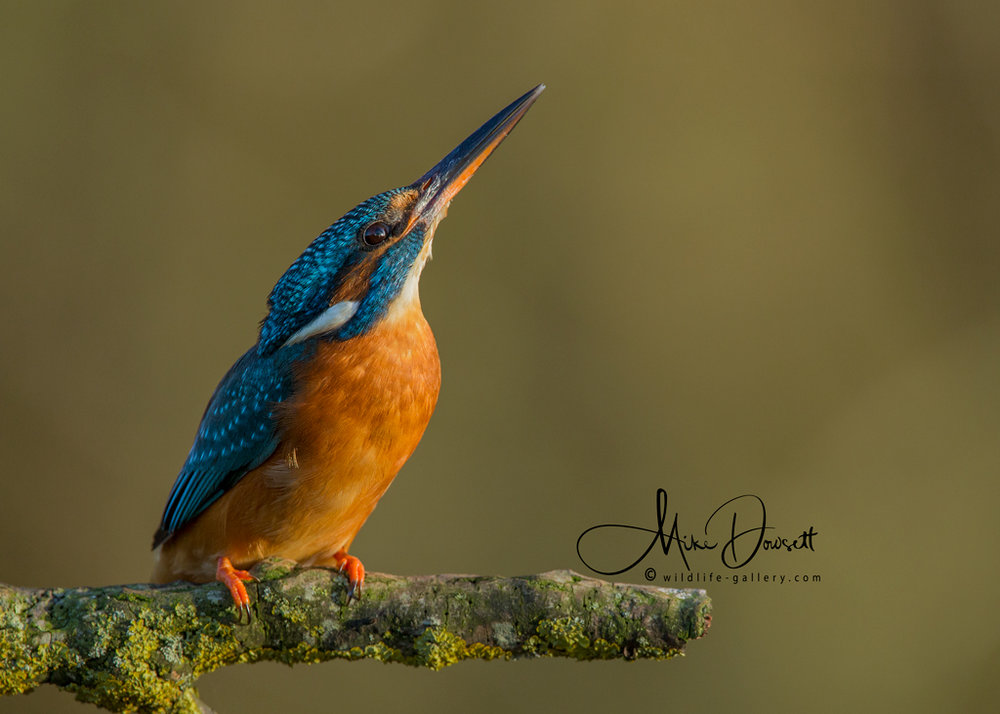 The Kingfishers have been regular visitors to the Hide until early January 2018, when the harsh winter took its toll.  I hope they return soon, this lady fisher is beautiful, looking to the heavens.