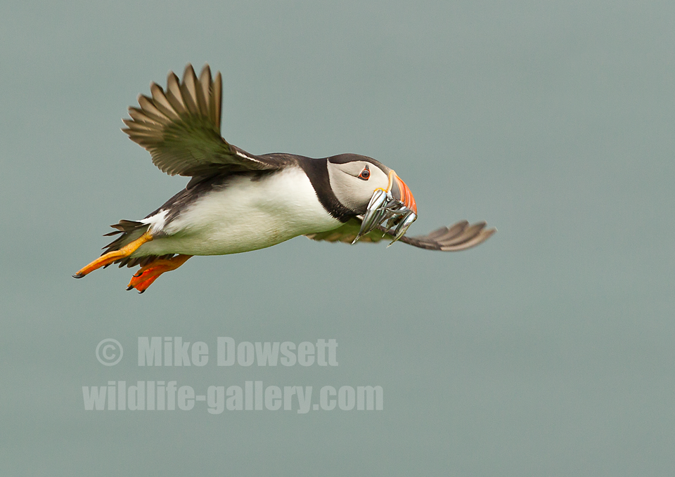 Puffin in flight with a mouth full of sand eels