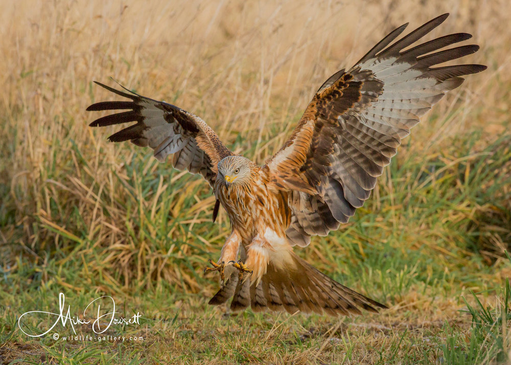 Red Kite action image - Talons out - The predator
