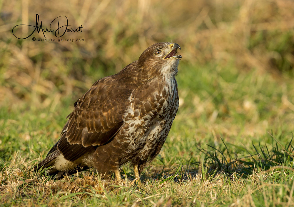 A beautiful Oxfordshire Common Buzzard, calling its mate from the meadow, just 30' in front of the hide