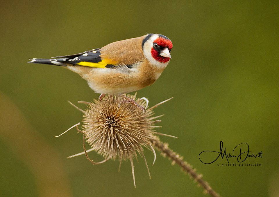 Goldfinch on a teasel