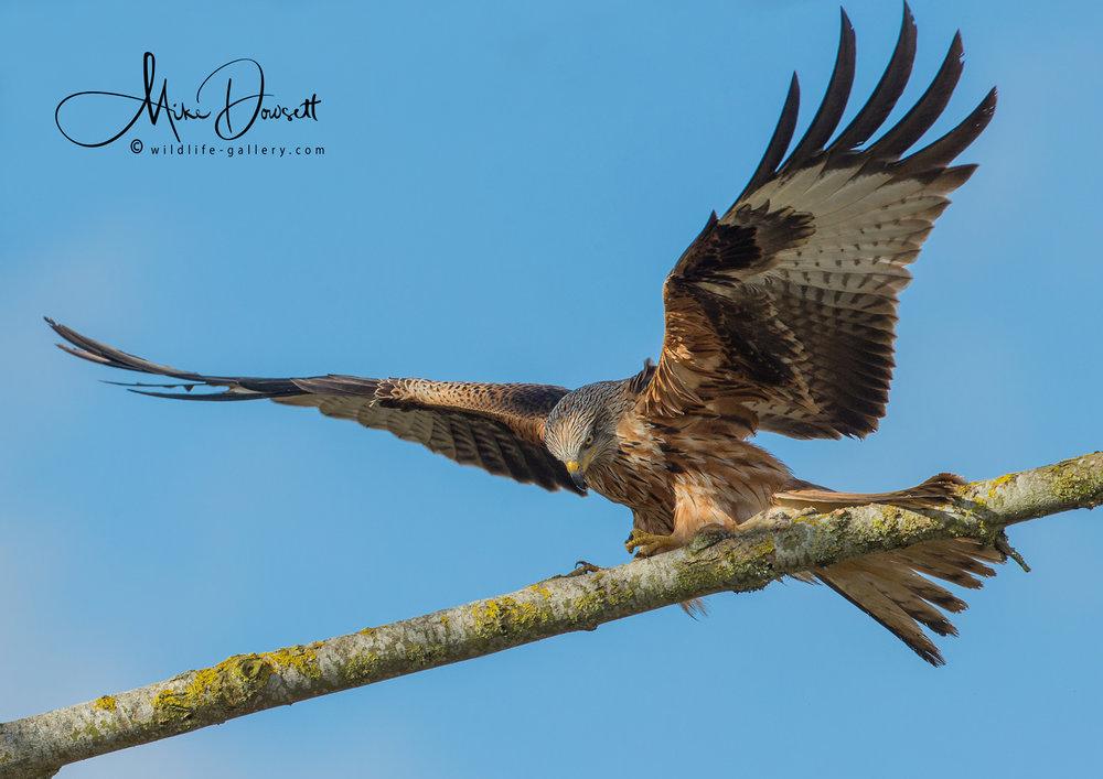 Red Kite landing on perch