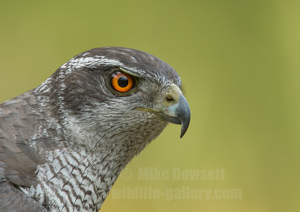 Northern Goshawk Close-Up