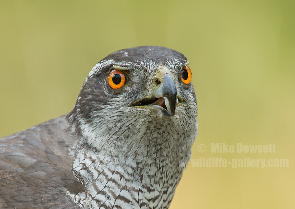 Northern Goshawk Close Up