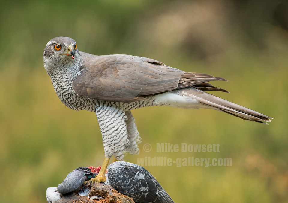 Northern Goshawk on prey