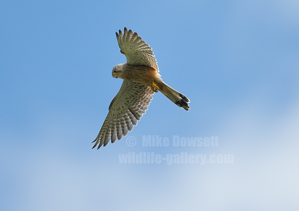 Beautiful male Kestrel in flight