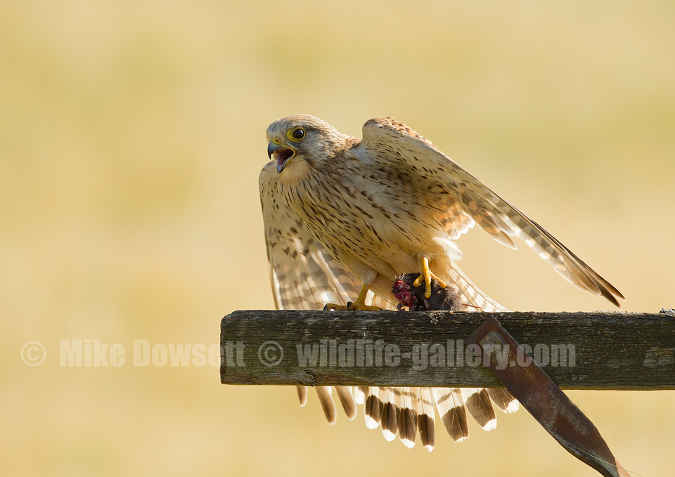 Female-Kestrel-with-prey-5530w2.png