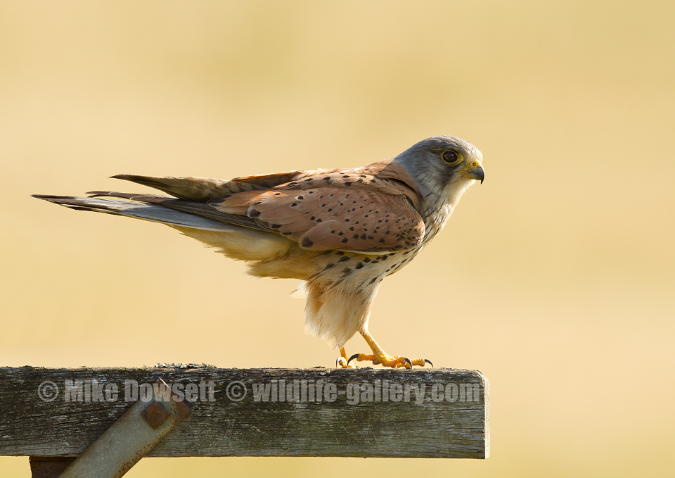 Male-Kestrel-6044w2.png