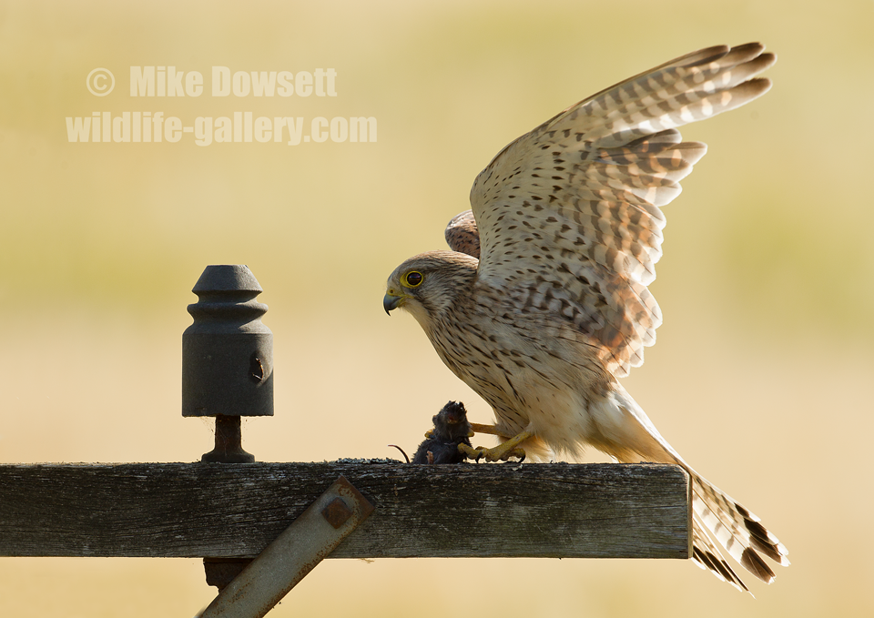 Beautiful-Kestrel-with-mouse-against-a-featureless-field-5208w2.png