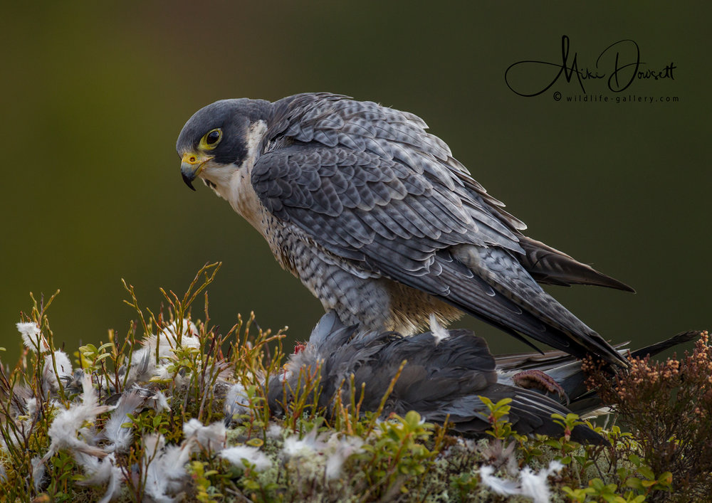 Peregrine Falcon on prey